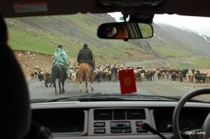 driving through a flock